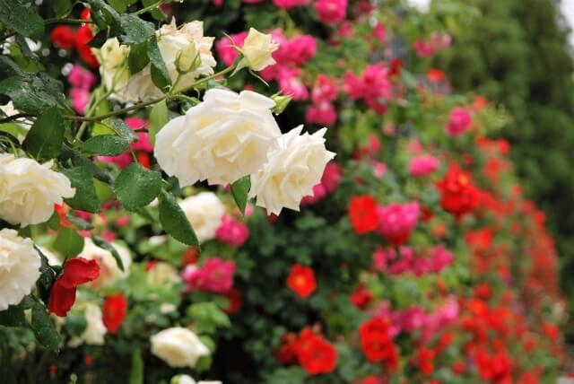 バラ 種類